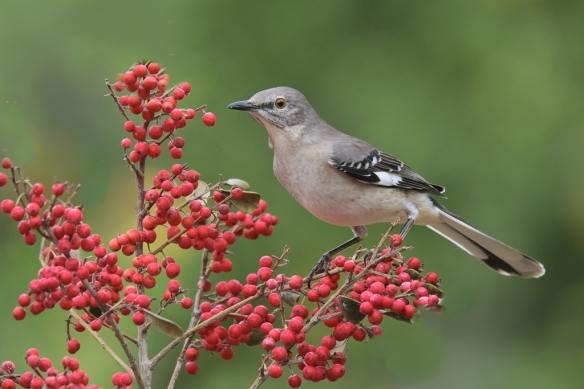 northern-mockingbird-