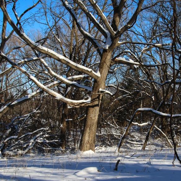 oak-tree-in-snow-