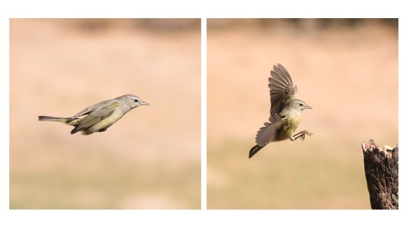 Orange-crowned Warbler bounding flight