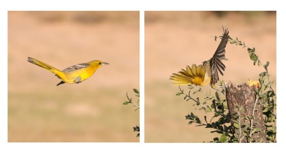 Female Hooded Oriole bounding flight