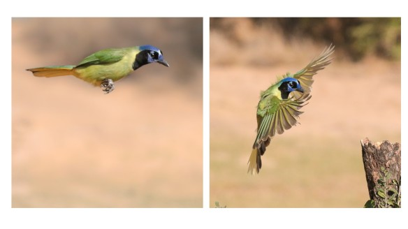 Green Jay bounding flight
