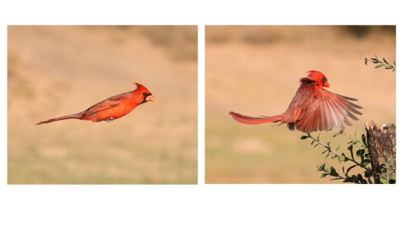 Male Cardinal bounding flight