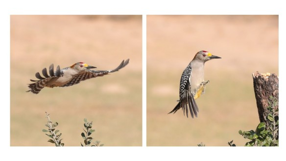 Golden-fronted Woodpecker flight