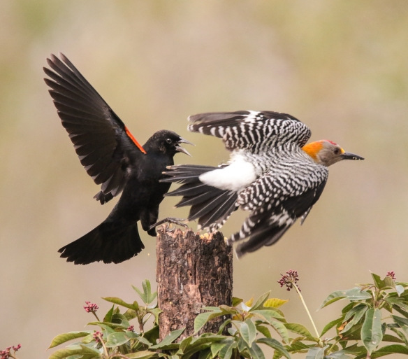 Red-winged Blackbird vs Golden-fronted Woodpecker