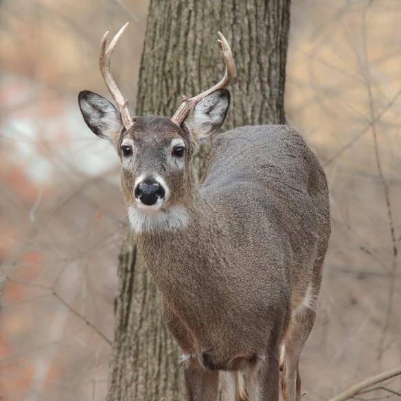 buck-white-tailed-deer-