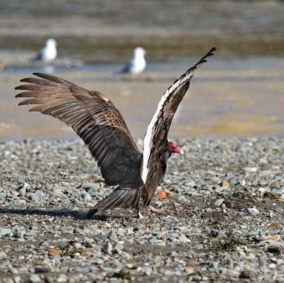 Turkey Vulture take-off