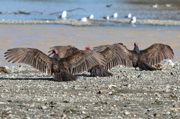 Turkey Vultures basking