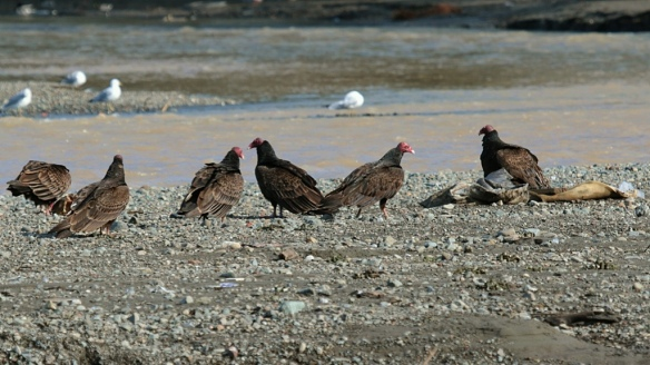 Turkey Vultures, Vasona reservoir, CA