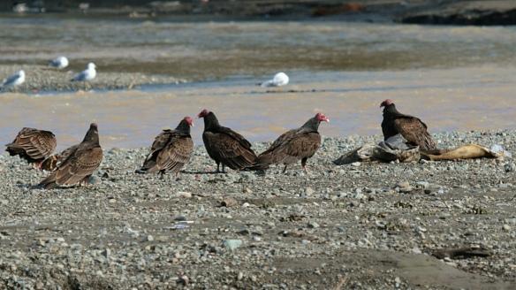 Turkey Vultures, Vasona reservoir, CA
