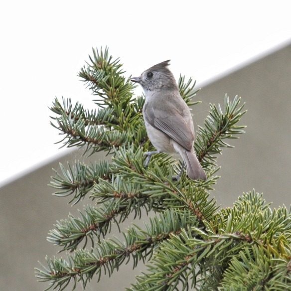 Plain Titmouse