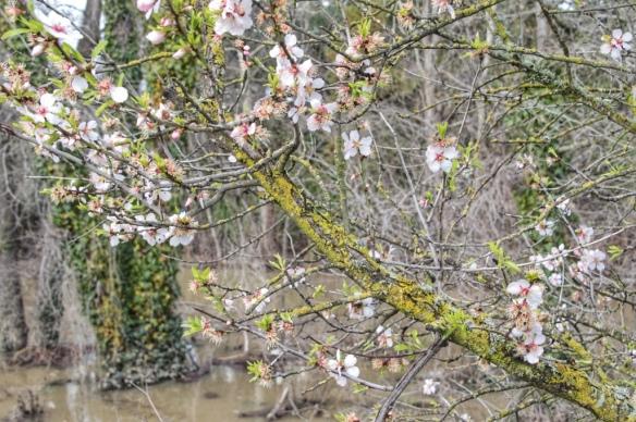 Almond blossoms along Los Gatos Creek