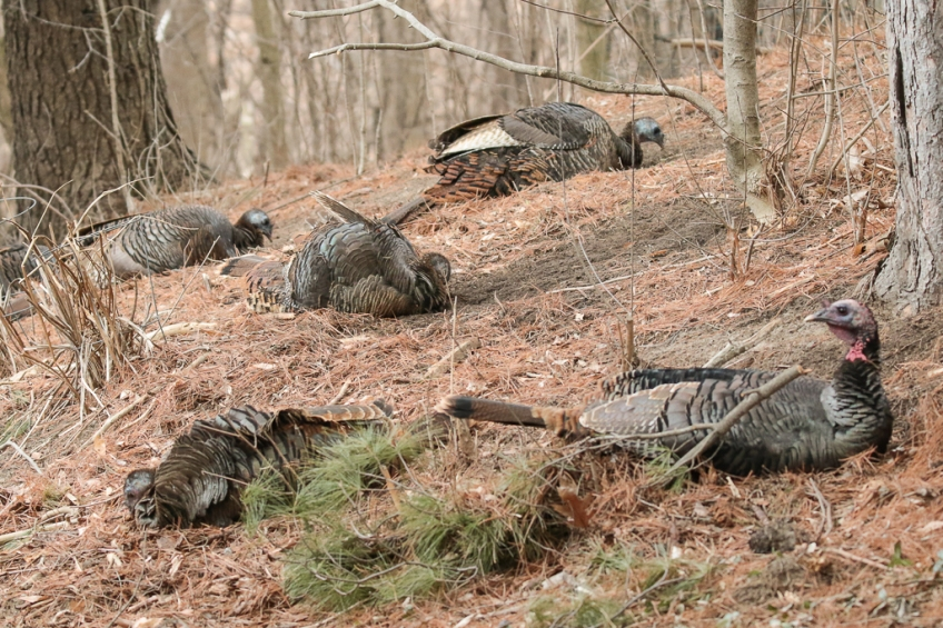 anting-turkeys-