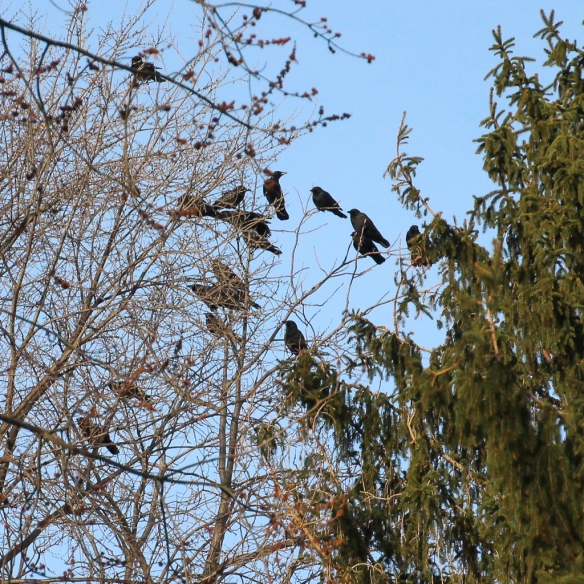 crows mobbing Red-shouldered Hawk