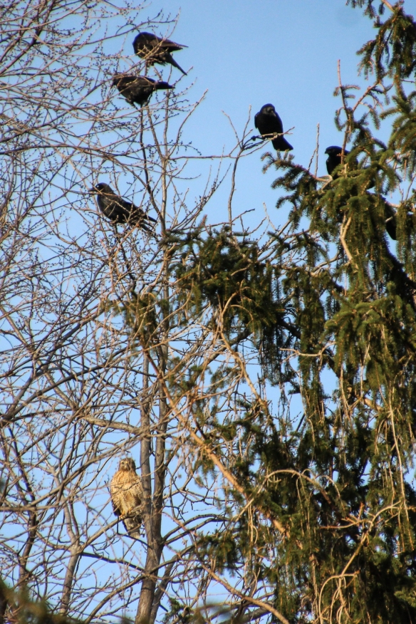 crows mobbing Red-shouldered Hawks