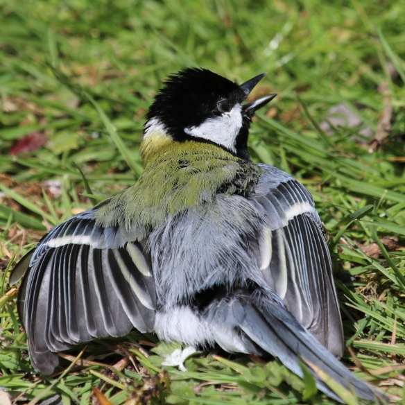 great-tit-anting