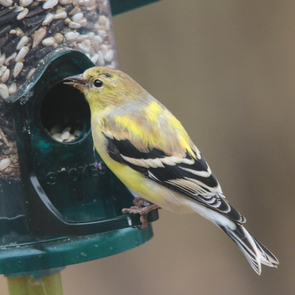 male american goldfinch-