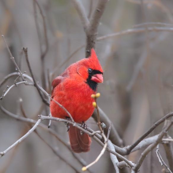 male cardinal-