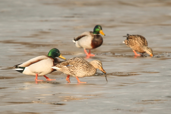 mallard ducks ice -fishing