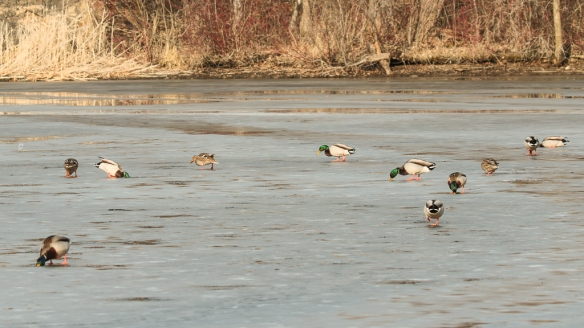 mallard ducks ice -fishing