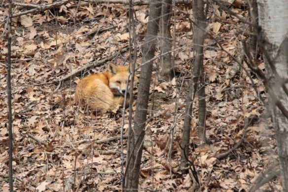 red fox nap-