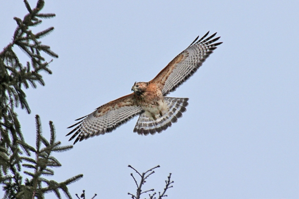 Red-shouldered Hawk escaping a mob of crows