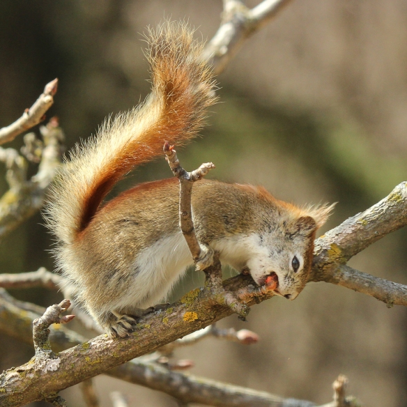 red squirrel eating buckeye buds