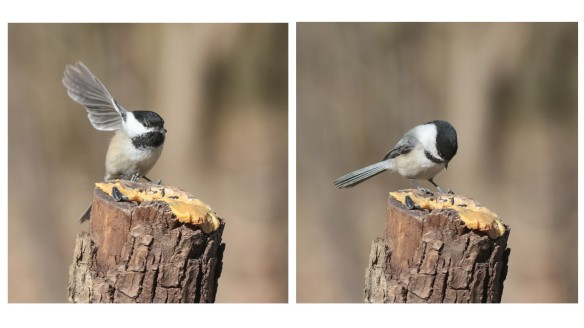 Chickadee landings