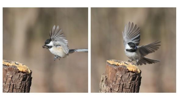 Chickadee landings