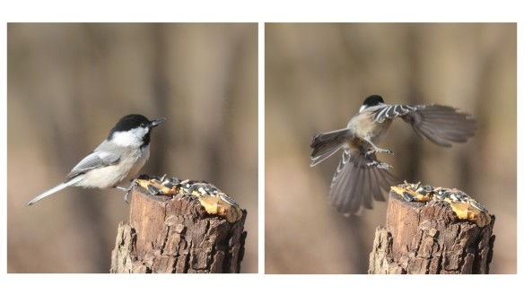Chickadee take-off