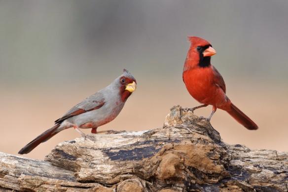 Cardinal and Pyrrhuloxia -angelamccain.smugmug.com