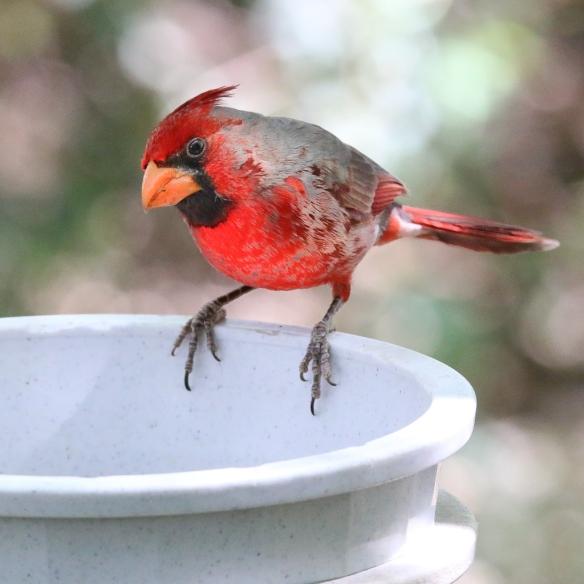 Cardinal-Pyrrhuloxia hybrid-Sonoran Desert Museum