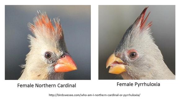 female cardinal vs pyrrhuloxia-birdswesee.com