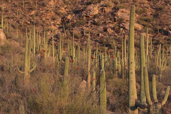 Saguaro cactus forest