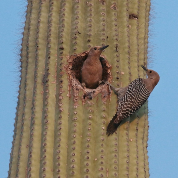 A pair of Gila Woodpeckers nesting in Saguaro