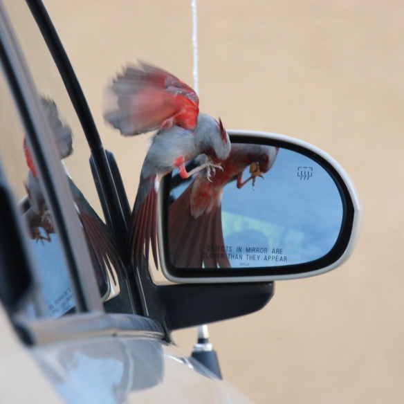 Pyrrhuloxia fighting its mirror image