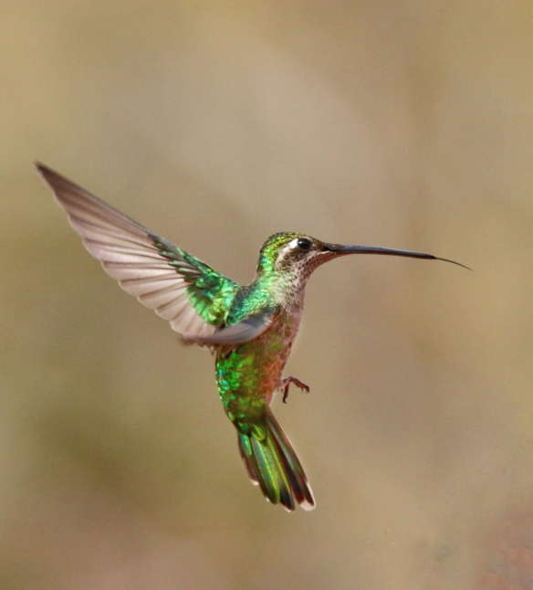 Female Magnificent Hummingbird