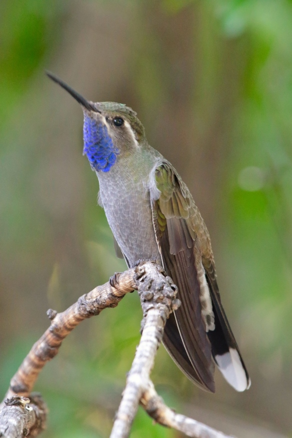 Male Blue-throated Hummingbird