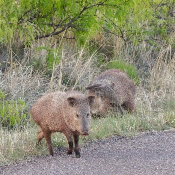 Javelina, southeastern Arizona