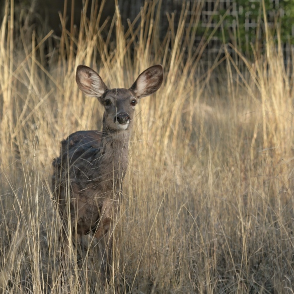 Coue's white-tailed deer