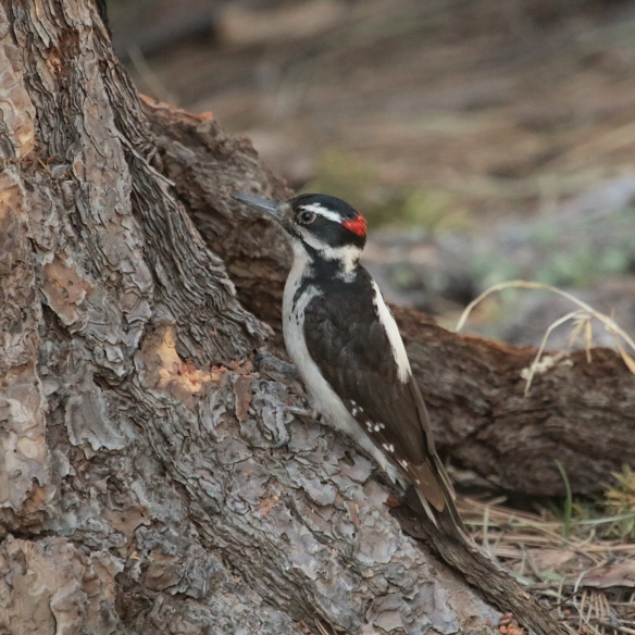 Hairy woodpecker, Cave Creek, AZ