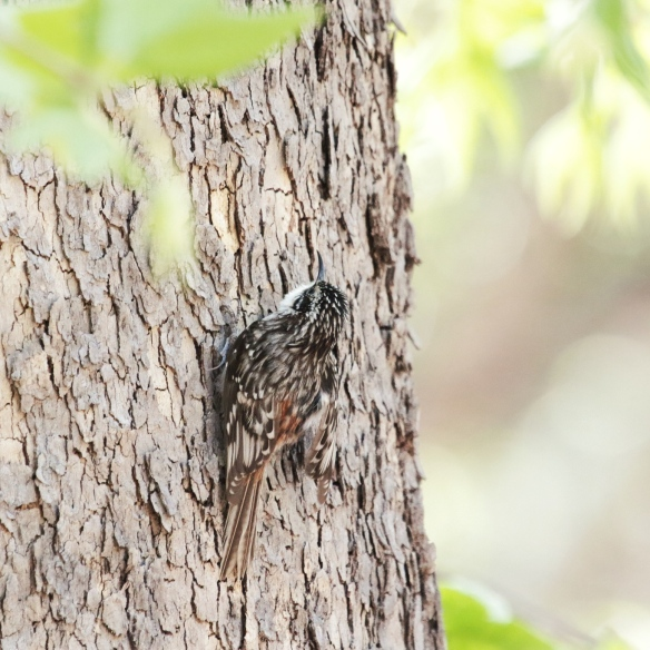 Brown Creeper, Cave Creek, AZ