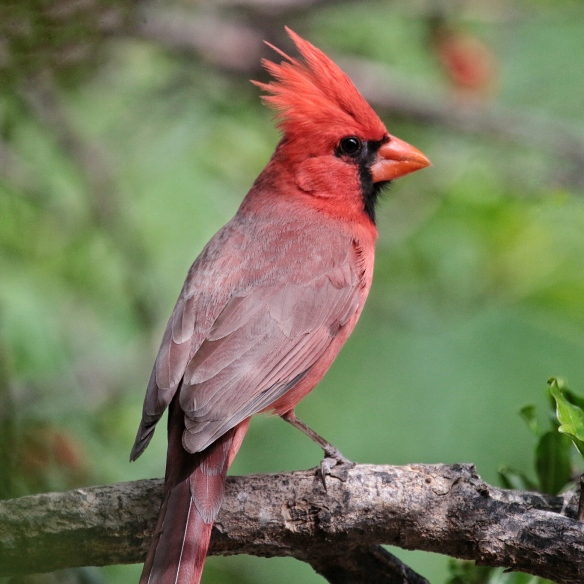 Male Northern Cardinal -Portal AZ