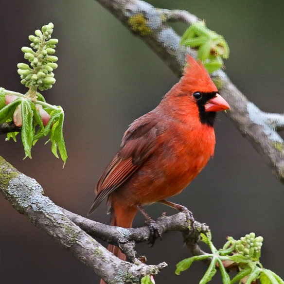 male Northern Cardinal-