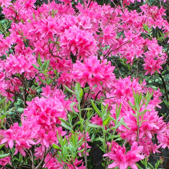Northern Lights Azalea-