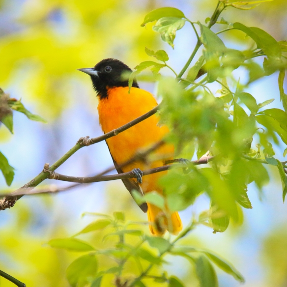 Baltimore Oriole-