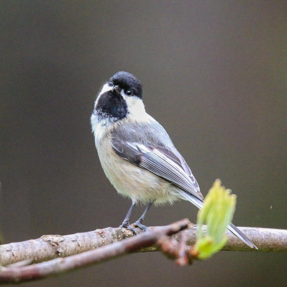 Black-capped Chickadee-