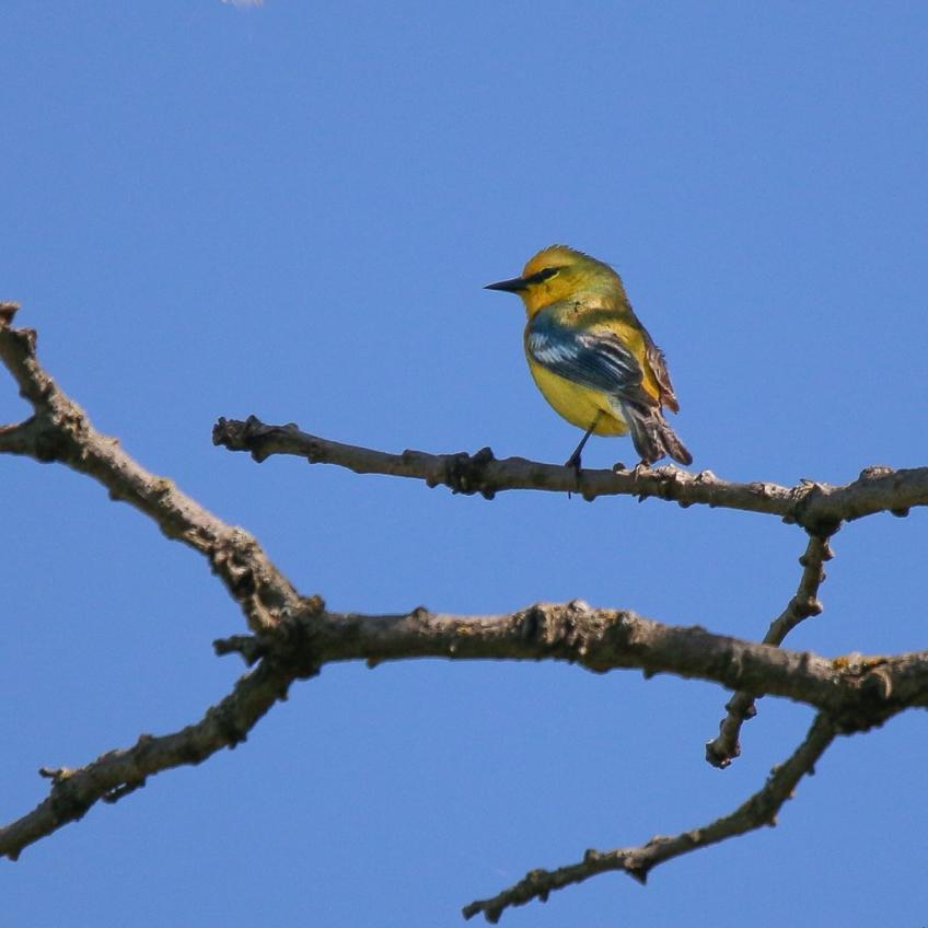 blue-winged warbler-