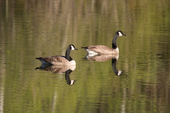 canada geese-