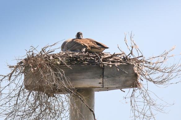 canada goose-on osprey nest