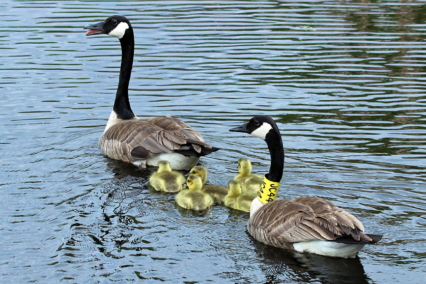 canada-goose-and-ducklings-1